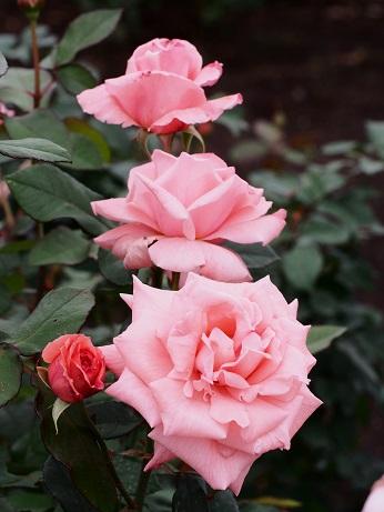 2013-10-22-5薔薇-10%.jpg