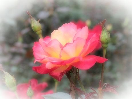 2013-10-22-7薔薇-10%.jpg
