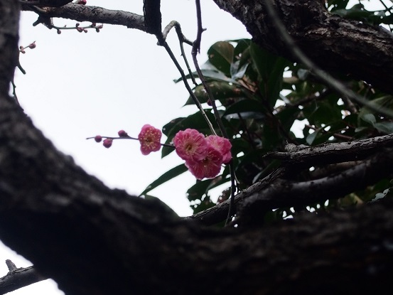 2014-01-25-9冬牡丹-12%.jpg