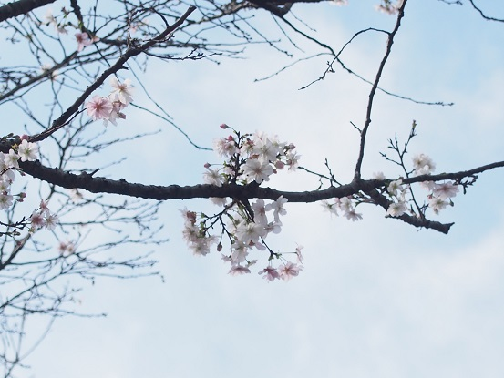 2014-10-11-11十月桜-1-12%.jpg