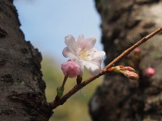 2014-10-11-12十月桜-2-12%.jpg