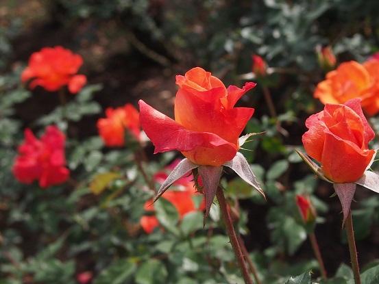 2014-10-11-5薔薇-2-12%.jpg