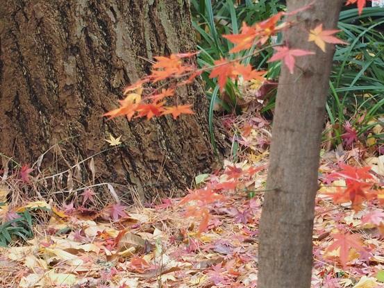 2014-12-21-12紅葉樹-2-12%.jpg