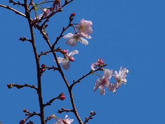 2015-10-25-10冬桜-1-12%.jpg