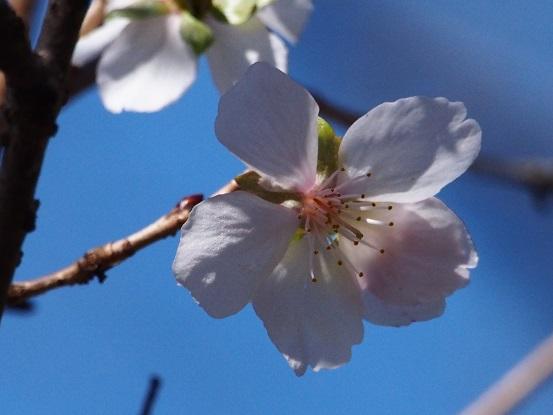 2015-10-25-11冬桜-2-12%.jpg