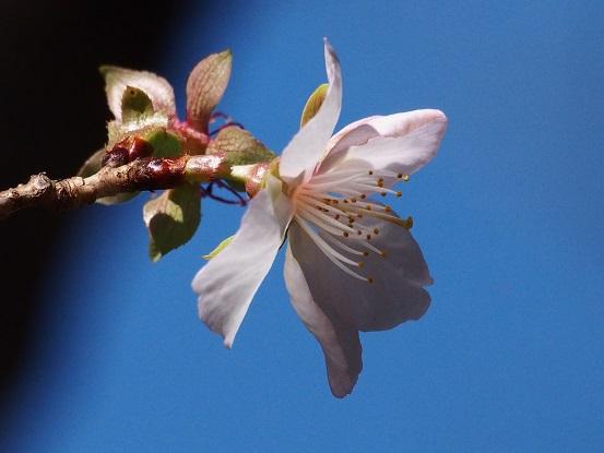 2015-10-25-12冬桜-3-12%.jpg
