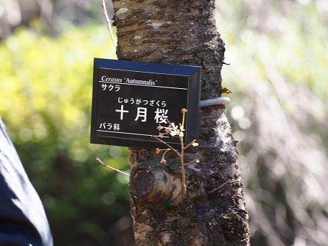 2015-10-25-5十月桜名札-10%.jpg