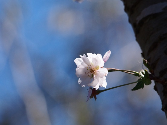 2015-10-25-7十月桜-2-12%.jpg