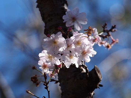 2015-10-25-8十月桜-3-12%.jpg