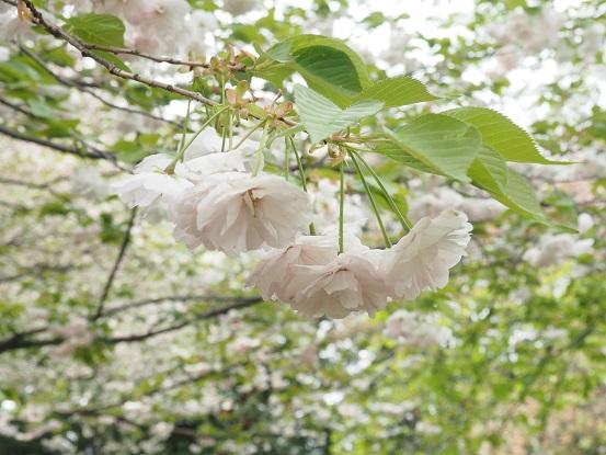 2015-4-12-16桜-2-12%.jpg