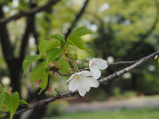 2015-4-12-7桜-1-12%.jpg
