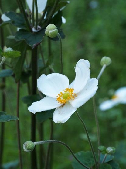2015-9-22-17白花シュウメイギク-12%.jpg