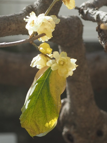 2016-1-19-2蝋梅の葉未だ落葉せず-12%.jpg