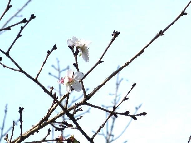 2016-11-20-1冬桜-1-2-30%.jpg
