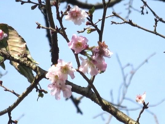 2016-11-20-2-2十月桜-20%.jpg