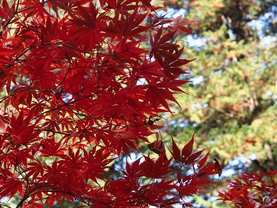 2016-11-20-24紅葉-15-12%.jpg