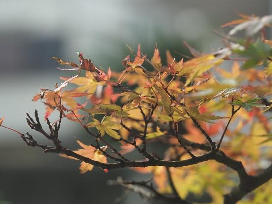 2016-11-8-1楓の紅葉 - 12%.jpg