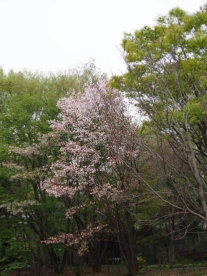 2016-4-10-21桜-12%.jpg
