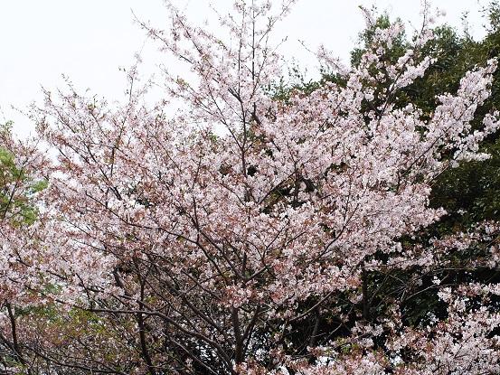 2016-4-10-3山桜-12%.jpg