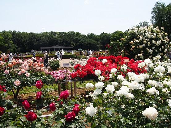 2016-5-22-7薔薇-12%.jpg