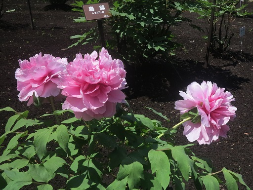 2016-5-5-1神代植物公園-18%.jpg