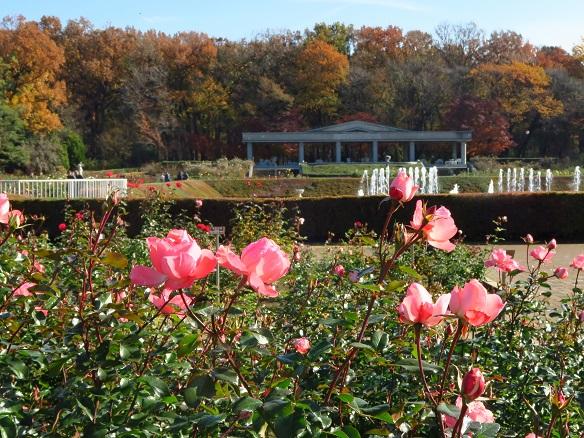 2017-12-5-9バラ園景色-12%.jpg