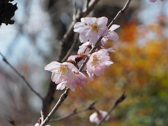 2017-3-17-10東海桜-2-12%.jpg