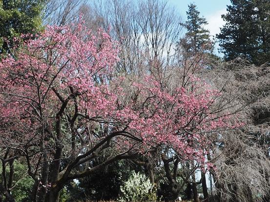 2017-3-17-11寒緋桜-1-12%.jpg