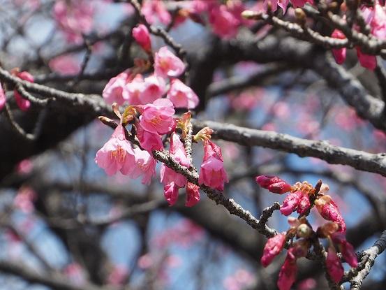 2017-3-17-12寒緋桜-2-12%.jpg