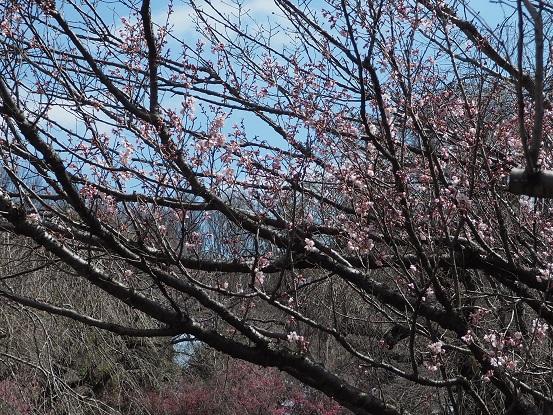 2017-3-17-9東海桜-1-12%.jpg