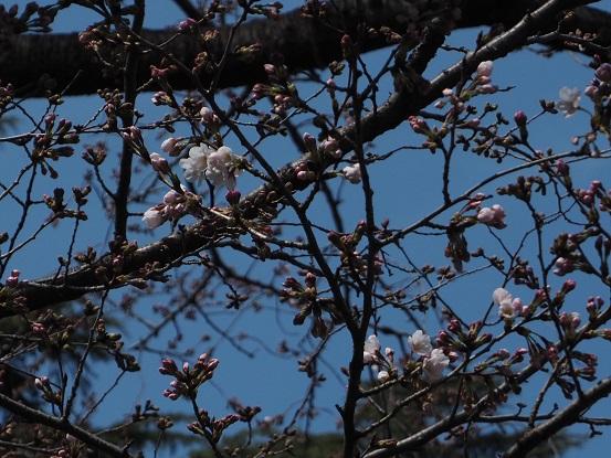 2017-3-25-10桜開花-12%.jpg