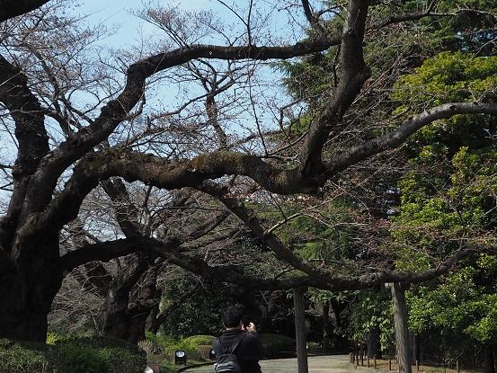 2017-3-25-9桜古木-12%.jpg