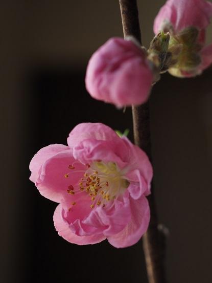 2017-3-5-5桃の花-1-12%.jpg