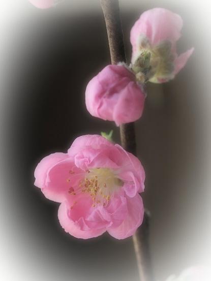 2017-3-5-6桃の花-2-12%.jpg