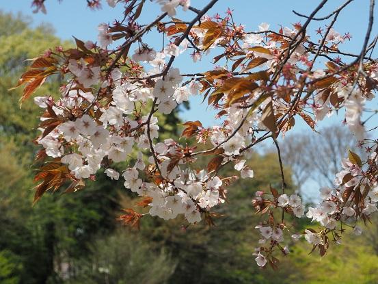2017-4-12-9山桜-12%.jpg