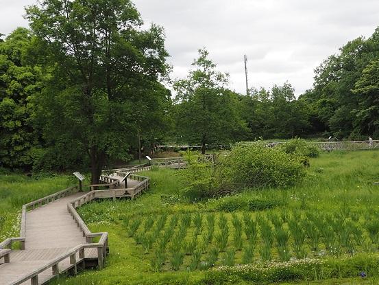 2017-5-14-7水生植物園-12%.jpg