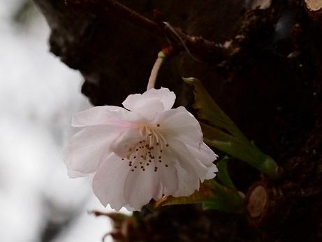 2013-10-22-23十月桜-10%.jpg