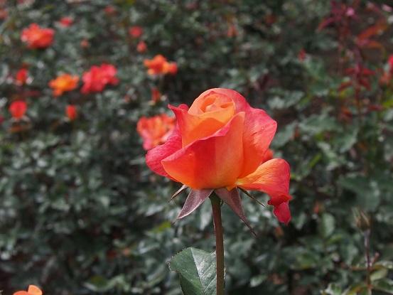 2014-10-11-4薔薇-1・プリンセスミチコ-12%.jpg