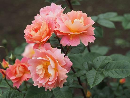 2017-5-14-17薔薇-12%.jpg