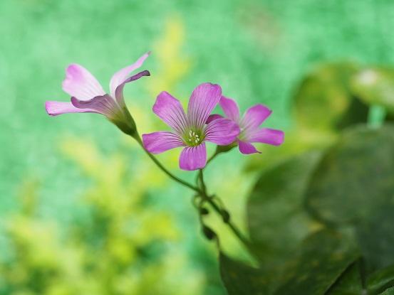 2018-10-10-3紫カタバミ-12%.jpg