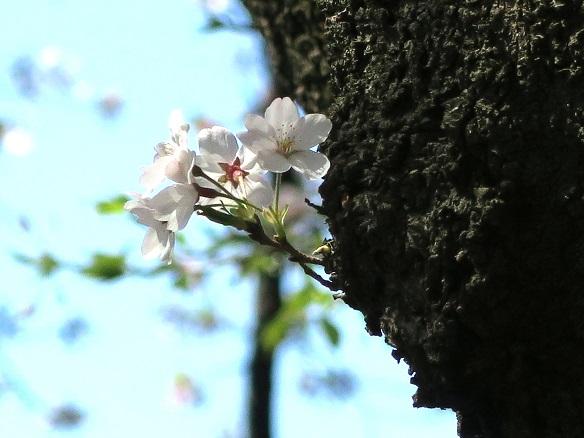2019-4-9-6桜-3-12%.jpg