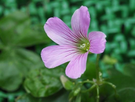 2019-5-3-2紫カタバミ-12%.jpg